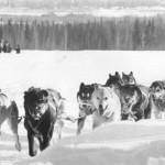 1972.03.-Courtesy Dog Mushers Museum, Doc Lombard racing ONAC